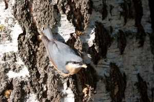 WP-Nuthatch